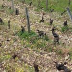 100% loss in this Sancerre vineyard