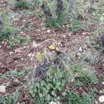 Damaged vine in Rully