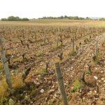100% loss for this vineyard in Chavignol