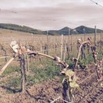Damaged Gewurztraminer vine in Alsace