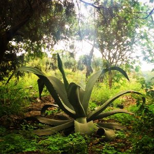 RESPECT TO THE MAESTROS: Agave, Community and Socioeconomics in Mezcal 1