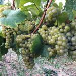 Melon de Bourgogne | Domaine Les Hautes Noëlles