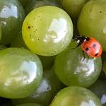 Sauvignon Blanc | Domaine Mardon