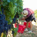 Harvesting Crozes-Hermitage Domaine de Thalabert | Paul Jaboulet Aîné