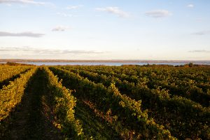 American Riesling: Defining a Noble Grape on American Soil 3