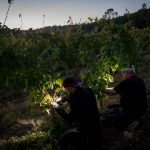 Night picking at La Bernarde