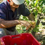 Hermitage Blanc Harvest | Jaboulet