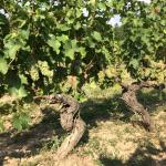 Old Vine Chenin Blanc | Le Rocher des Violettes
