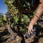 Ideal conditions for harvest at La Bernarde in Côtes de Provence