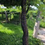 The Lost World: Pre-Phylloxera Albariño in the Val do Salnés 7