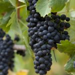 Zinfandel: American Heritage in a Glass 14
