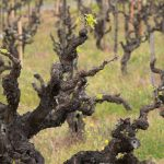 Zinfandel: American Heritage in a Glass 17