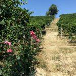 100 Years of Azelia: Old, Stubborn Beauty in Barolo 6