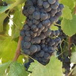 2020 Harvest Notes from France 9