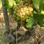 2020 Harvest Notes from France 10