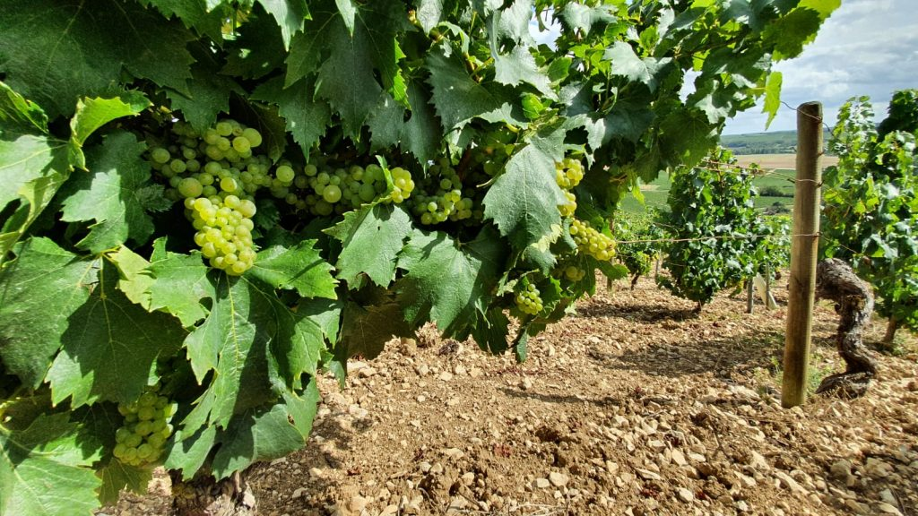 2020 Harvest Notes from France 19